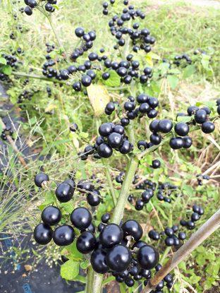 収獲をまつガーデンハックルーベリー。熟度がすすんでからの収穫なので、もう少しですね。